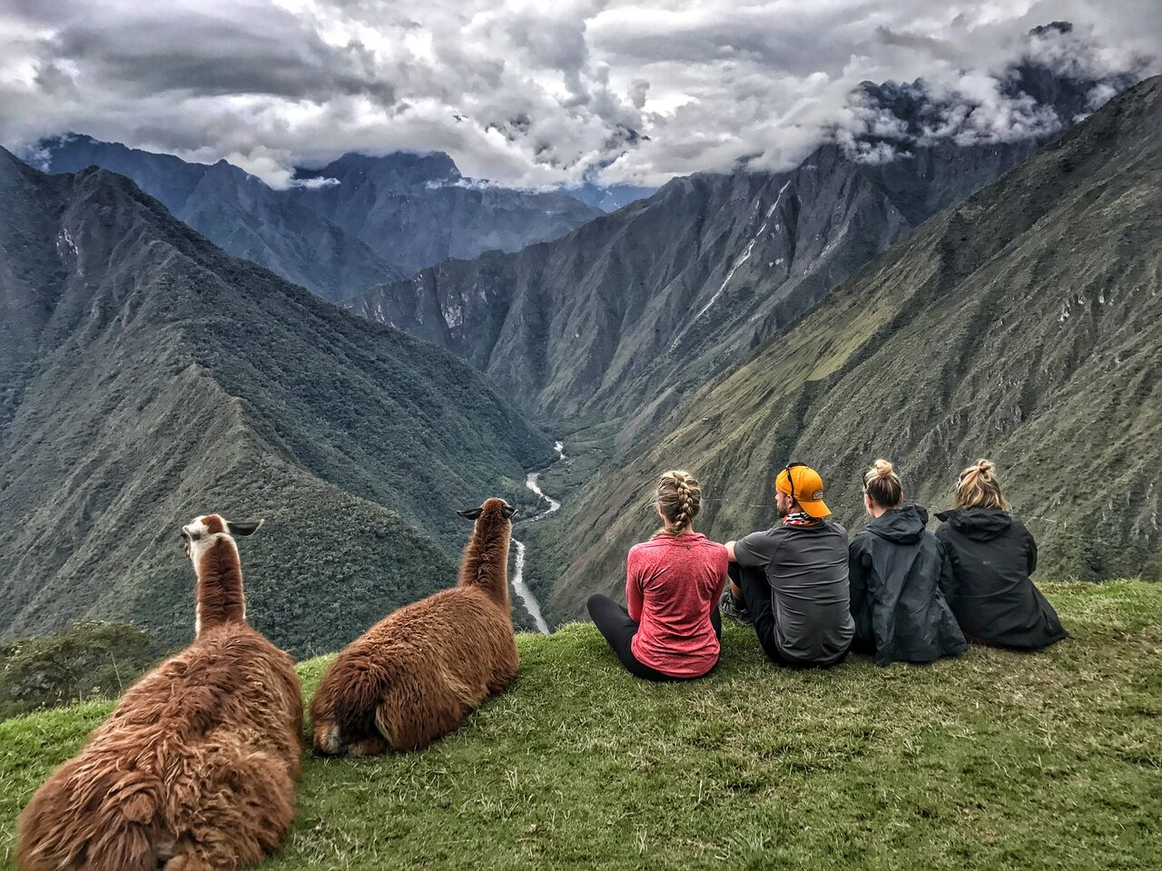 A bunch of llamas