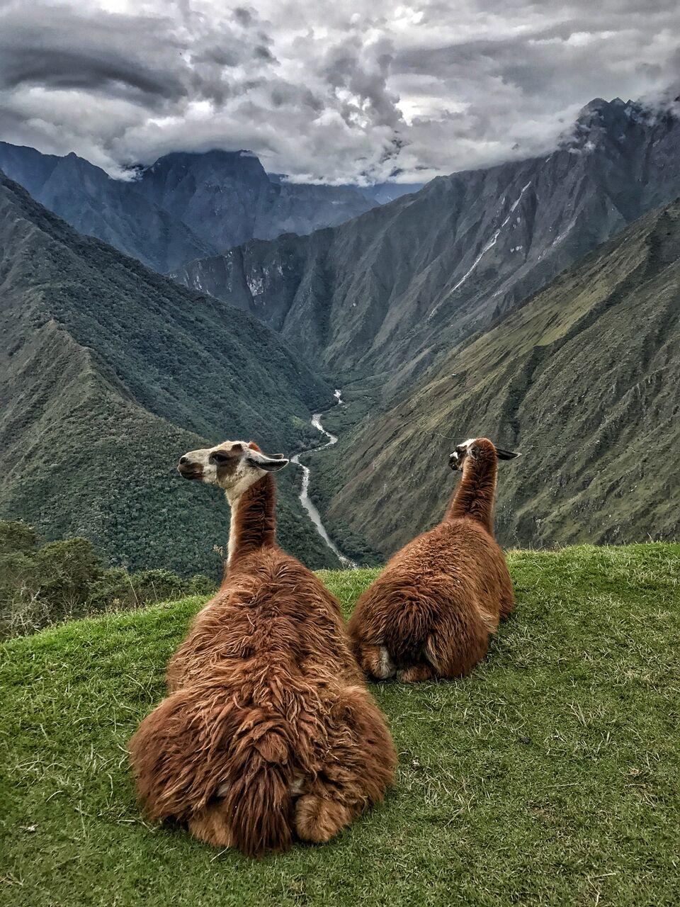 peruvian llamas vertical